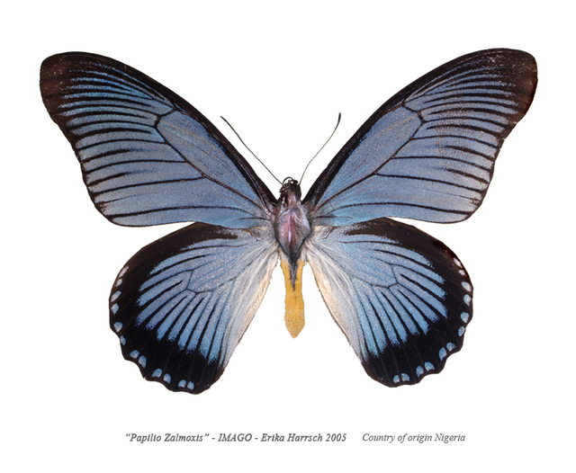 , 'Papilio Zalmoxis – Imago,' 2016, RoFa Projects