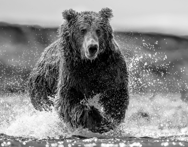 David Yarrow, 'The Happy Bear', 2019, Photography, Archival Pigment Photograph, Holden Luntz Gallery