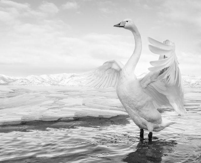 David Yarrow, 'Swan Lake', 2017, Photography, Archival Pigment Print, Maddox Gallery
