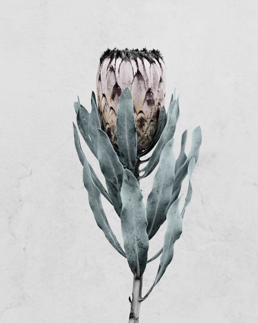 , 'Protea cynaroides,' 2016, The Photographers' Gallery