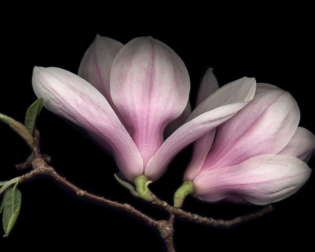 , 'Pink Magnolia,' , J. Petter Galleries