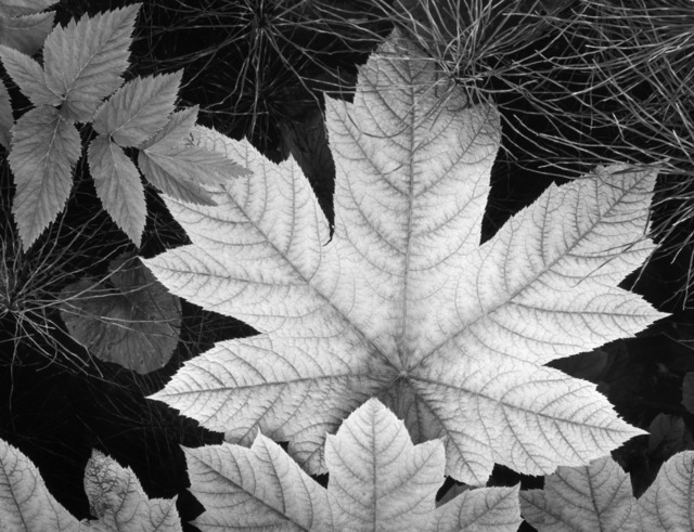 , 'Leaf, Glacier Bay National Monument, Alaska,' 1948, The Ansel Adams Gallery