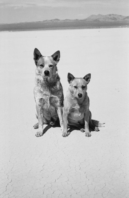 Arthur Elgort, 'Dogs, Death Valley, California', 2001, Photography, Gelatin Silver Print, Staley-Wise Gallery