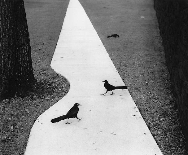 Pentti Sammallahti, 'Houston, Texas (Two Birds on Path)', 1998, Peter Fetterman Gallery
