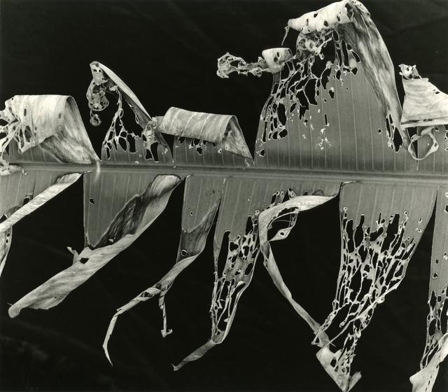 , 'Torn Leaf Hawaii,' 1978, Timeless Gallery