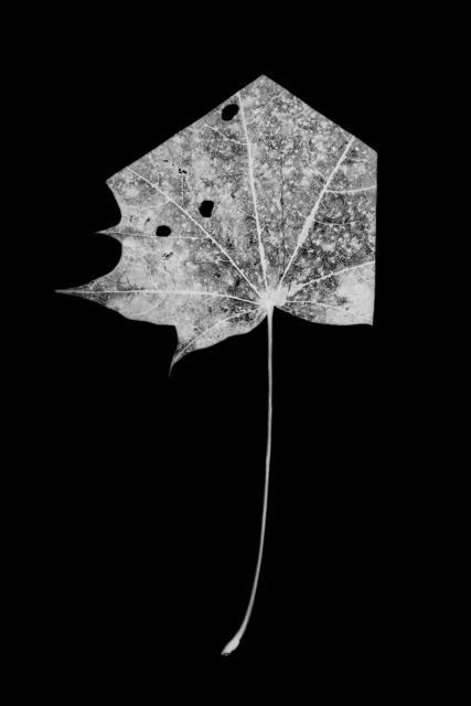 , 'leaf-cut 01,' 2016, Grundemark Nilsson Gallery