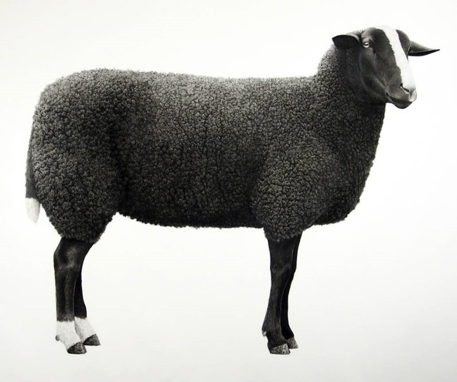 Jonathan Delafield Cook, 'Zwartbles Sheep ', 2019, Purdy Hicks Gallery