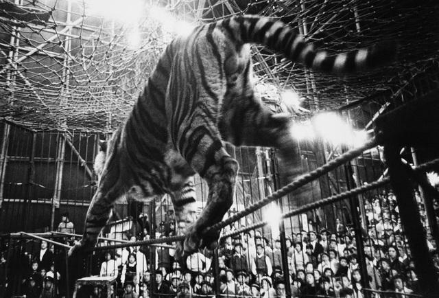 , 'Tiger, Kigure Circus,' 1957-vintage print, IBASHO
