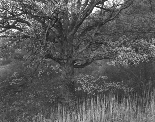 , 'Oak Tree, Holmdel, New Jeresey,' 1970, Afterimage Gallery