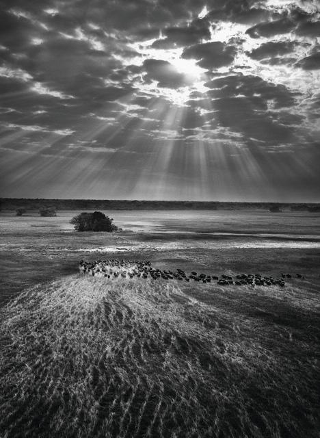, 'Herd of Buffalo, Kafue National Park, Zambia,' 2010, Sundaram Tagore Gallery