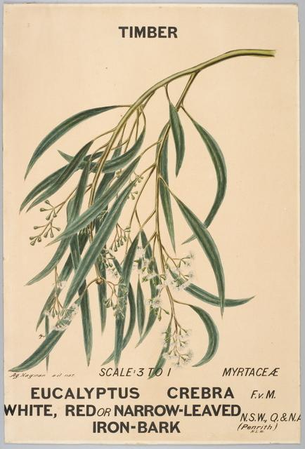 Agard Hagman, 'Botanical illustration of Eucalyptus crebra (White, Red or Narrow-Leaved Iron-Bark)', 1887, Powerhouse Museum