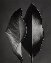 Two Leaves, Hollywood, California