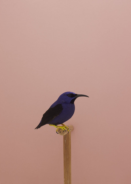, 'Purple Honeycreeper #1,' ca. 2016, The Photographers' Gallery
