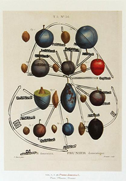 , 'Plum (Duhamel de Monceau: 1801-1819) + Plum amino acid family (2008),' 2017, Umberto Di Marino