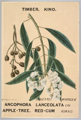 Agard Hagman, 'Watercolour, botanical drawing, Angophora lanceolata (Apple-Tree. Red-Gum)', 1887, Powerhouse Museum