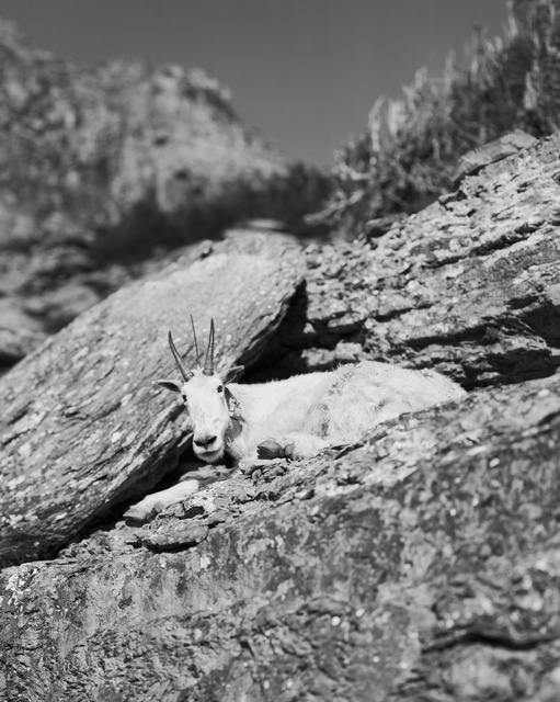 , 'Auto Reincarnated and Geotagged (Mountain Goat with GPS device), Logan Pass, Montana,' 2014, Moran Bondaroff