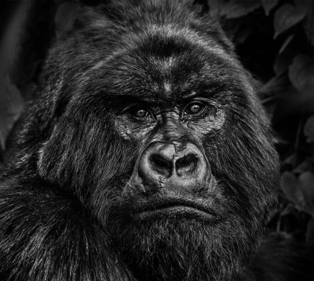 David Yarrow, 'Kong', 2019, Isabella Garrucho Fine Art