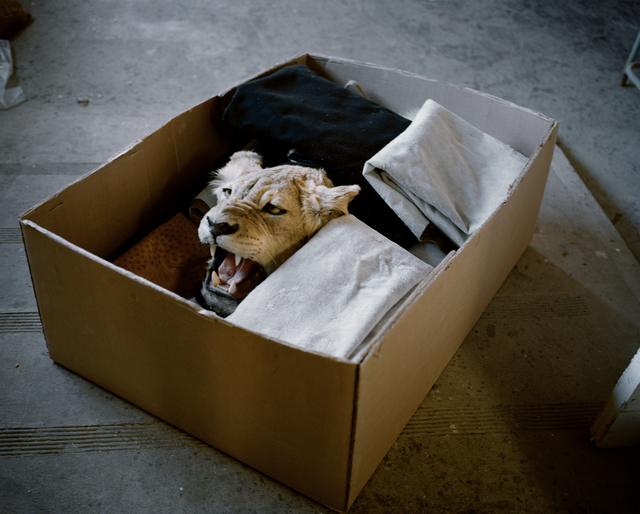 , 'Lioness in a Box, Eastern Cape, South Africa,' 2012, Francesca Maffeo Gallery