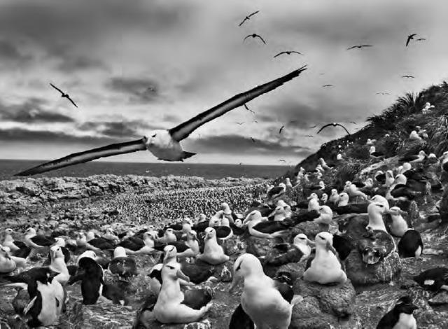 Sebastião Salgado, 'Jason Islands, Falkland Islands', 2009, Photography, Gelatin silver print, Atlas Gallery