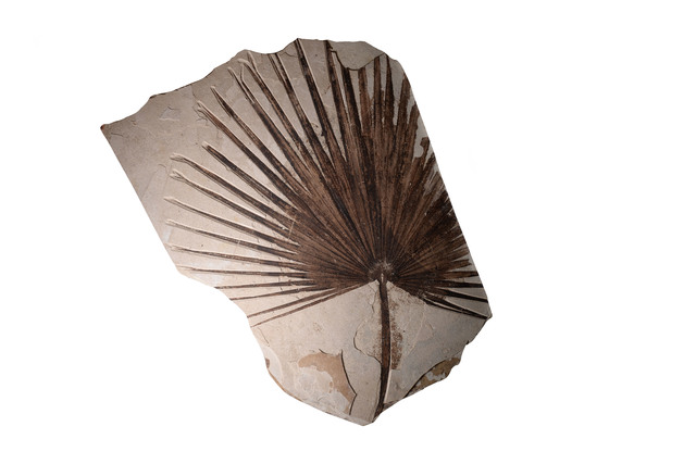 , 'Fossilised Palm Frond,' ca. 55000000 BCE, ArtAncient