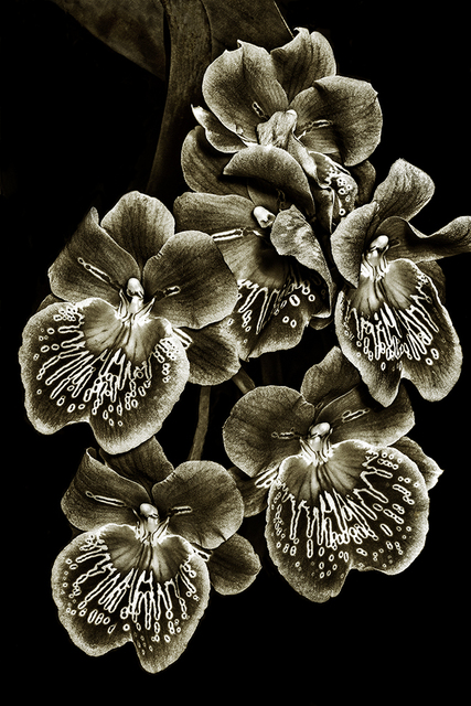 , 'Orchid Family #3,' , Soho Photo Gallery