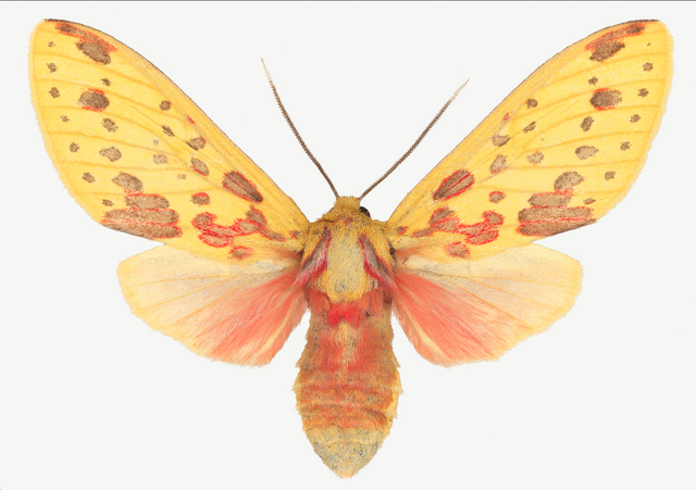 , 'Symphlebia Lophocampoides ,' , ArtStar
