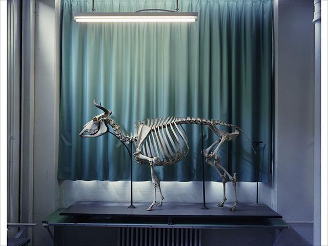 Richard Barnes, 'Right Panel, Cow, Musee Fragonard, Paris', Bau-Xi Gallery