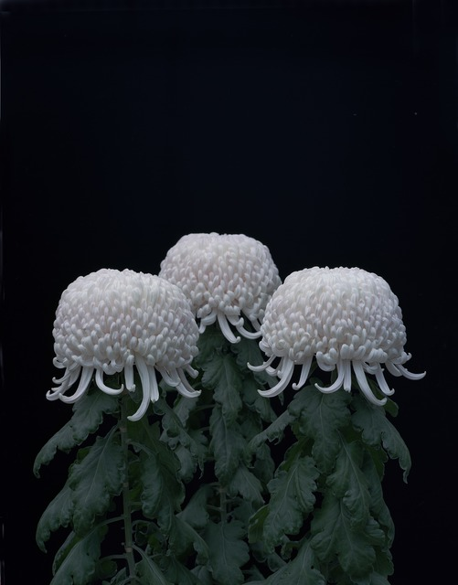 , 'Chrysanthemums,' 2011, Japan Society