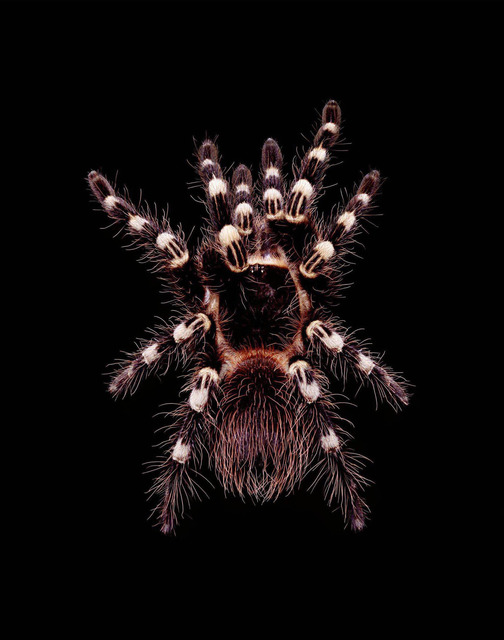 , 'Acanthoscurria geniculata (A1),' 2003, Hamiltons Gallery