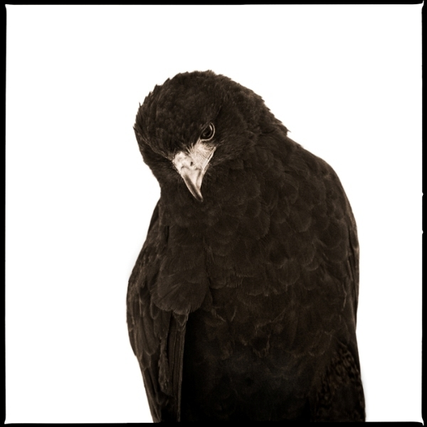 , 'Hawk I,' 2017, Julie Nester Gallery