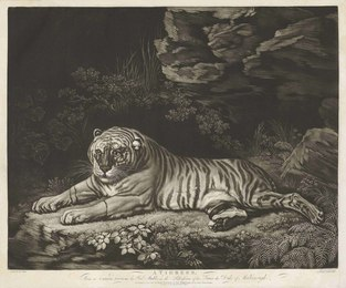 A Tigress lying on the ground