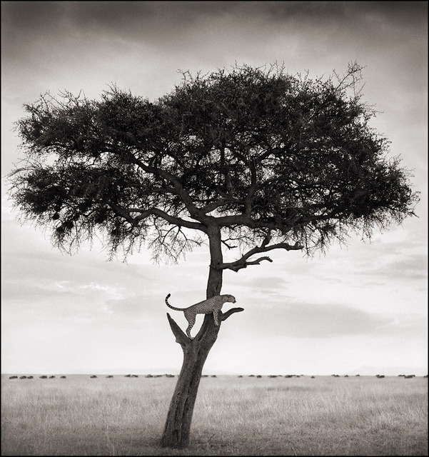 , 'Cheetah in Tree, Maasai Mara,' 2003, Edwynn Houk Gallery