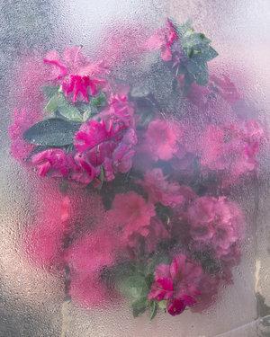 Cig Harvey, 'Azaleas Pressing, Rockport Maine', 2018, Kopeikin Gallery