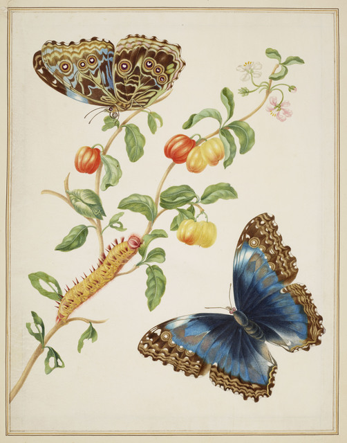 , 'Branch of West Indian Cherry with Achilles Morpho Butterfly ,' 1702-1703, Royal Collection Trust