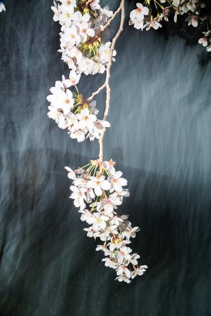 , 'Sakura 022,' 2015, IBASHO