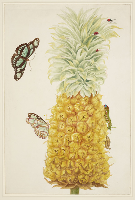 , 'Ripe Pineapple with Dido Longwing Butterfly,' 1702-1703, Royal Collection Trust