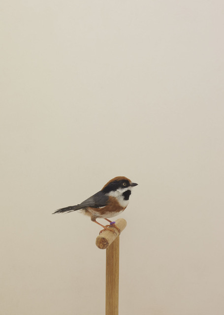 , 'Black-throated Bushtit #1,' ca. 2016, The Photographers' Gallery