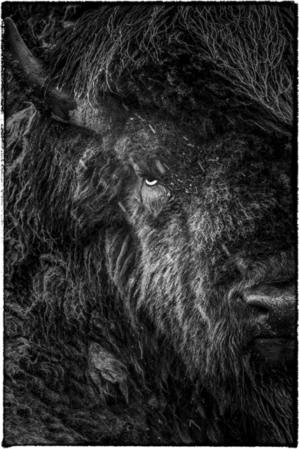 , ' American Bison,' 2014, AN INC.