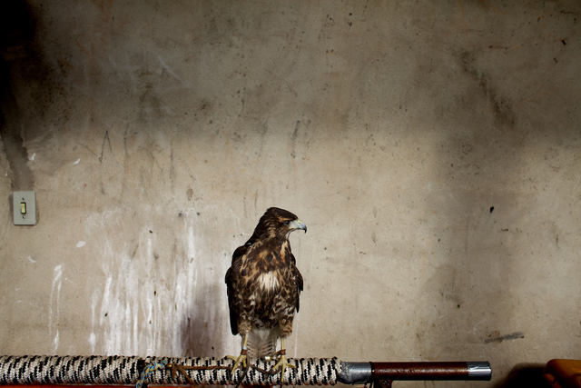 , 'Hawk (from the series Zoo),' 2014, Zipper Galeria