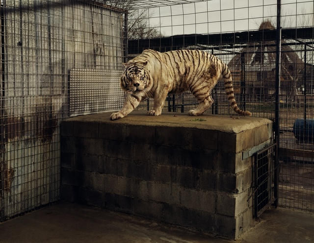 , 'White Tiger (Kenny), Selective Inbreeding Turpentine Creek Wildlife Refuge and Foundation Eureka Springs, Arkansas,' 2007, Jeu de Paume