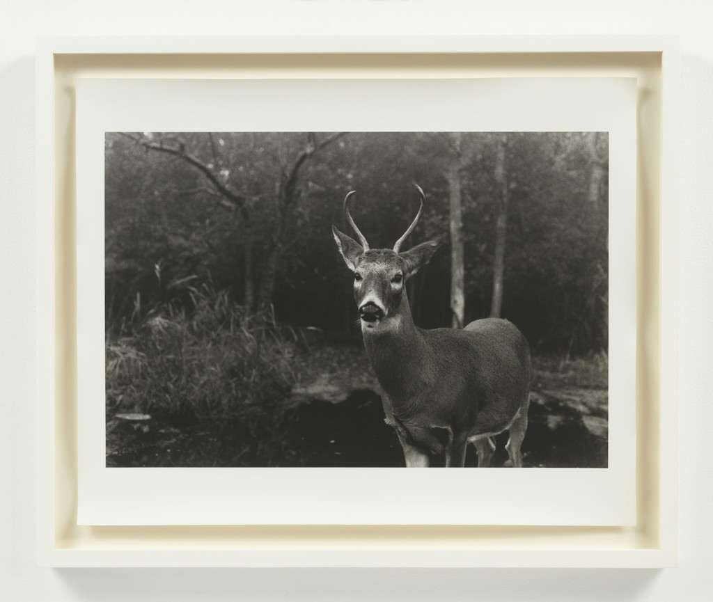 ERIC RHEIN Silver Buck- Fire Island, 2010, Silver gelatin photographic print 20 x 24 inches   edition of 8