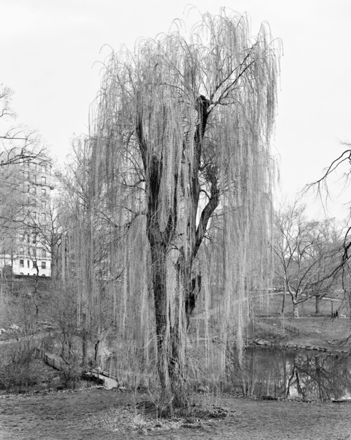 , 'Weeping Willow, Central Park, New York ,' 2012, Galerie Les filles du calvaire