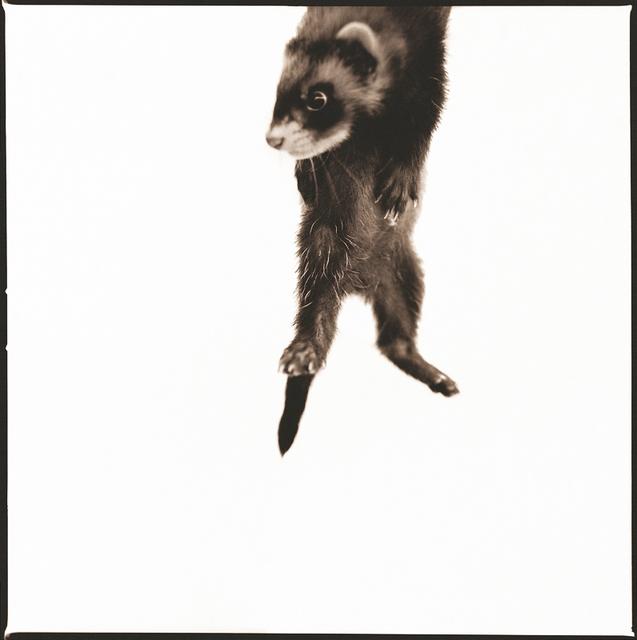 Nine Francois, 'Ferret I', Weston Gallery