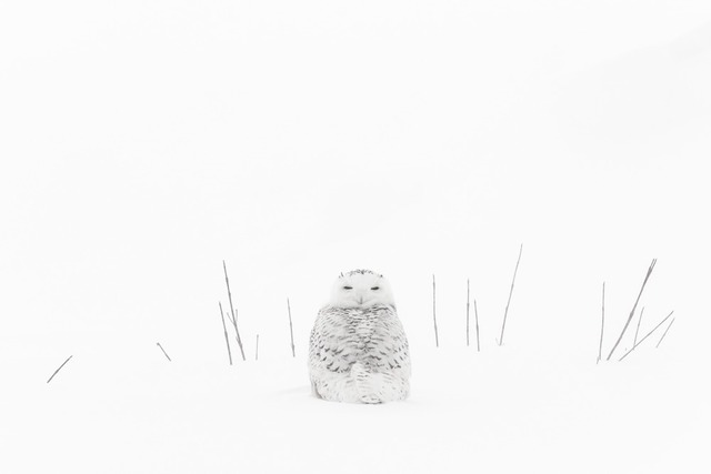 , 'Harfang Femelle Parmi les Herbes (Female Snowy Owl Among the Herbs),' , Paul Nicklen Gallery