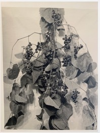 , 'Grapes Apart, with Leaves,' ca. 1915, Scott Nichols Gallery