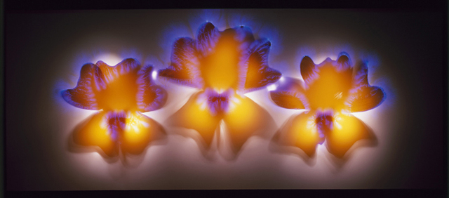 , 'Orange Clockflower,' , Melissa Morgan Fine Art