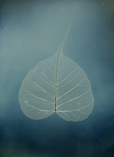 ", 'Untitled #5, Bodhi leaf, from the series, ""Aura of Botanical Specimen"",' 2017, Lisa Sette Gallery"
