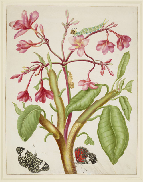 , 'Frangipani plant with Red Cracker Butterfly,' 1702-1703, Royal Collection Trust