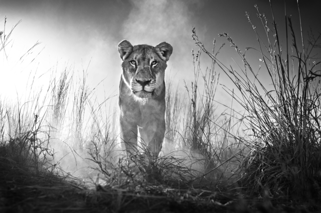 David Yarrow, 'Gladiator', 2015, Samuel Lynne Galleries
