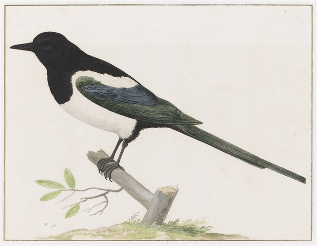 Pieter Holsteyn, the younger, 'A Magpie', ca. 1640, Drawing, Collage or other Work on Paper, Black chalk, gouache, gum arabic and watercolor on paper, Mireille Mosler Ltd.